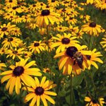 Цветы-многолетники