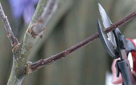 Формирование кроны яблони - необходимый агротехнический прием