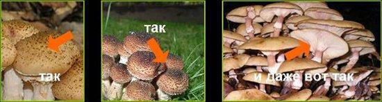Ядовитые грибы: ложные опята, фото