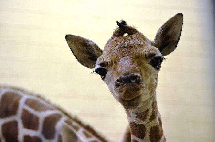 Интересно, как называется детеныш жирафа? Жирафенок?