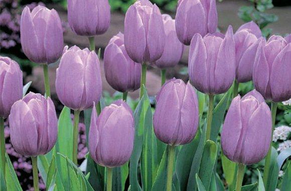 Как правильно хранить луковицы цветов: лилий, тюльпанов, гиацинтов