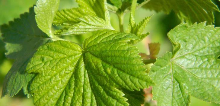 Как собирать, сушить и заваривать листья смородины