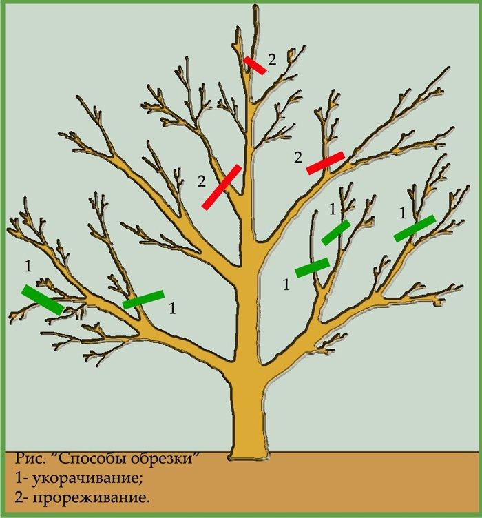 Обрезка яблонь осенью схема для начинающих