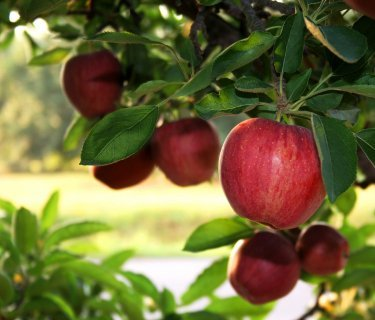 Кефирно-яблочная диета: приводим себя в норму