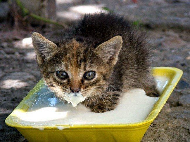 Питание котят. Чем кормить котенка?