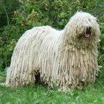 Комондор: венгерская овчарка