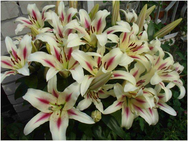 Королева цветов – лилия