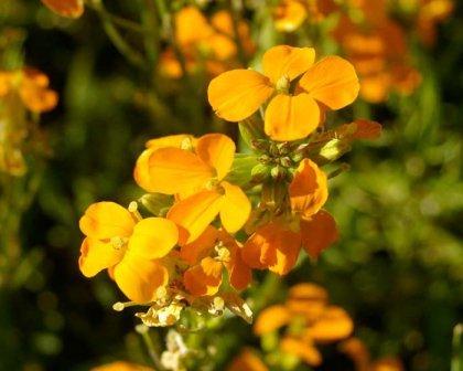 Крестоцветные растения и их особенности