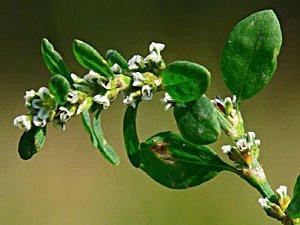 Лечебные свойства спорыша: новое о давно известном