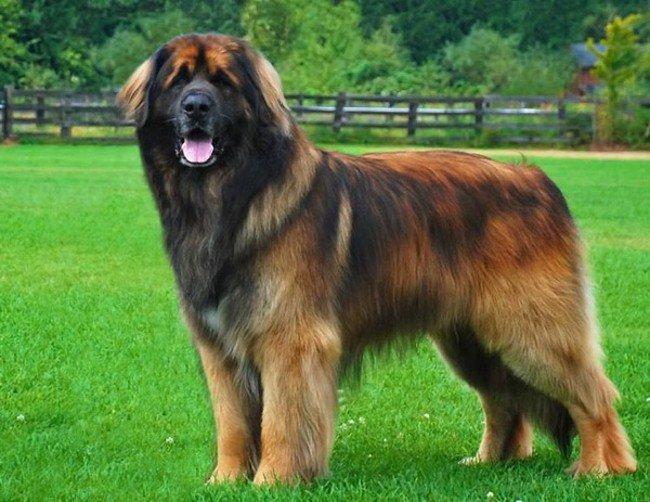 Породы собак: леонбергер