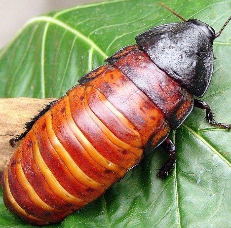 Мадагаскарские тараканы любят пошипеть