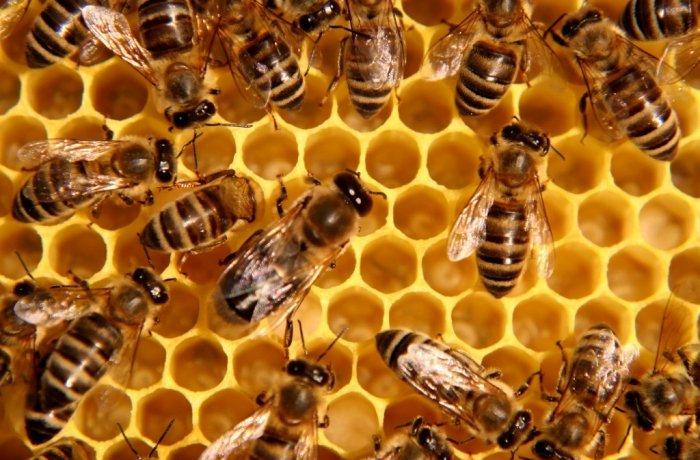 Мед эспарцетовый – сладкое лекарство