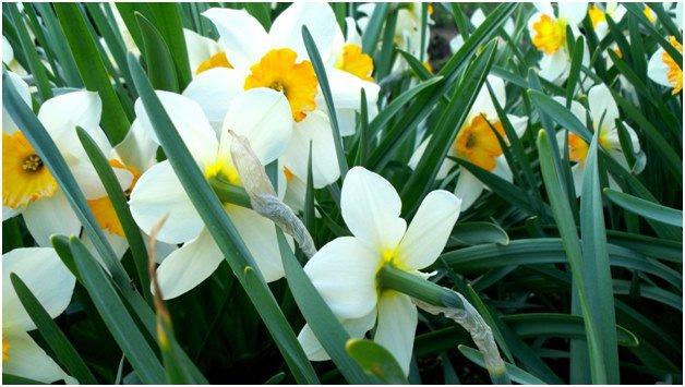 Нарциссы – весеннее украшение сада