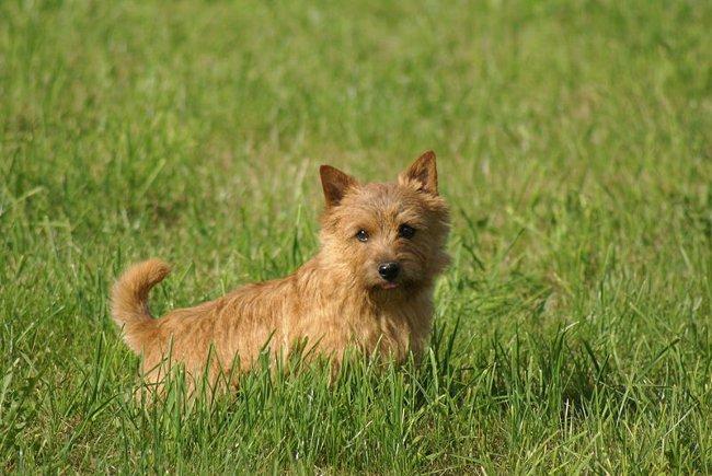 Породы собак: норвич терьер