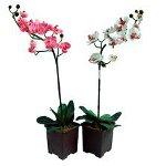 Орхидея не цветет: что делать?