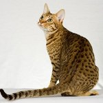 Породы кошек: оцикет