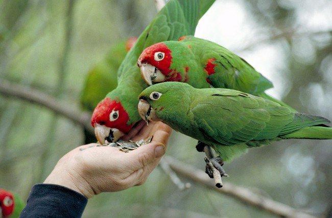 Чем кормить попугая?