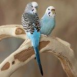 Попугай чихает: что делать?