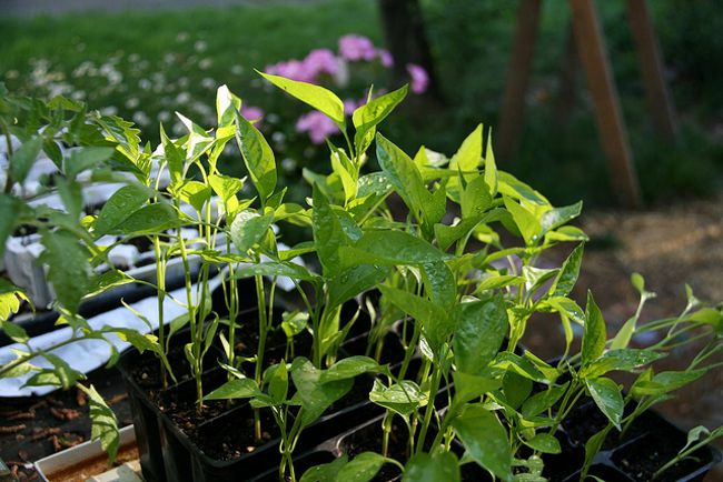 Выращивание рассады перца: часть 1