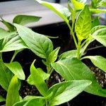 Выращивание рассады перца: часть 2