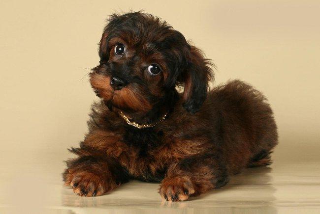 Породы собак: петербургская орхидея