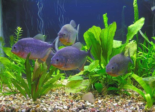 Пираньи в вашем аквариуме
