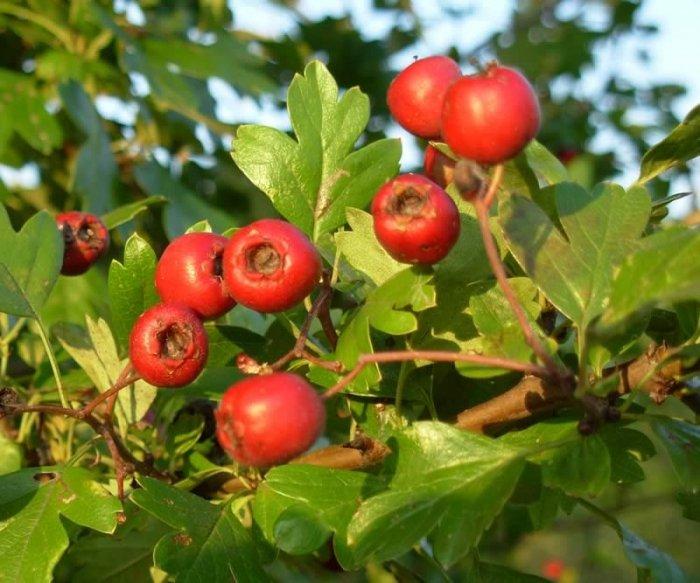 Плоды боярышника. Применение в медицине