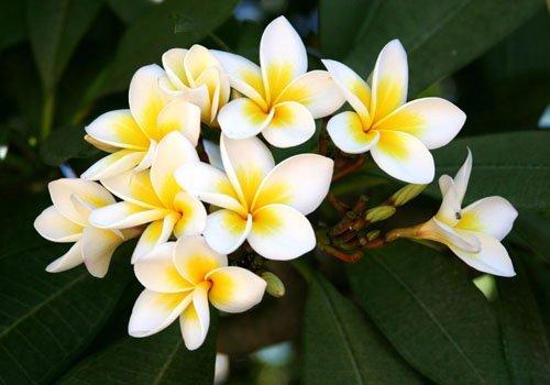 Цветок Плюмерия - волшебный аромат в вашем доме