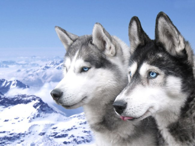 Порода собак хаски