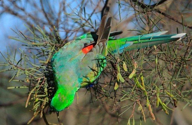 Поющие попугаи (Psephotus haematonotus)