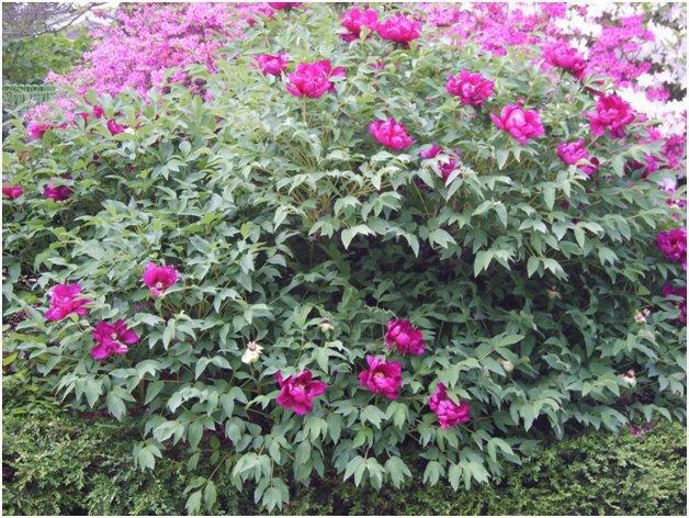 Правильное выращивание пионов