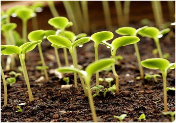 Премудрости выращивания незабудок