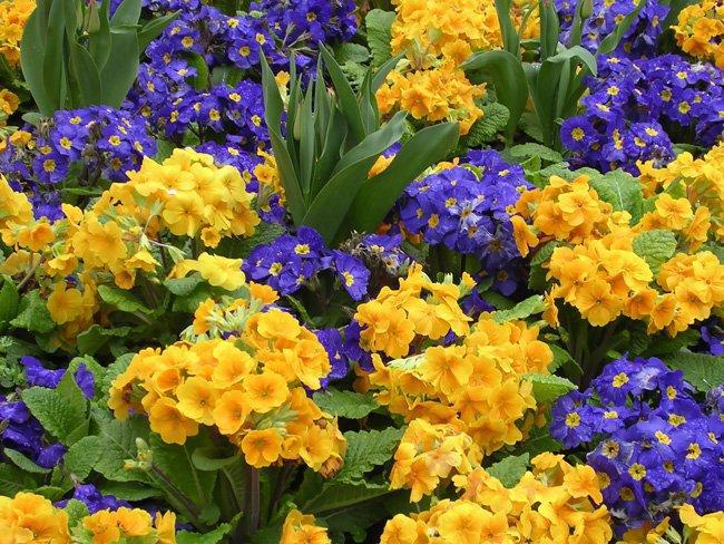 Первоцветы на участке