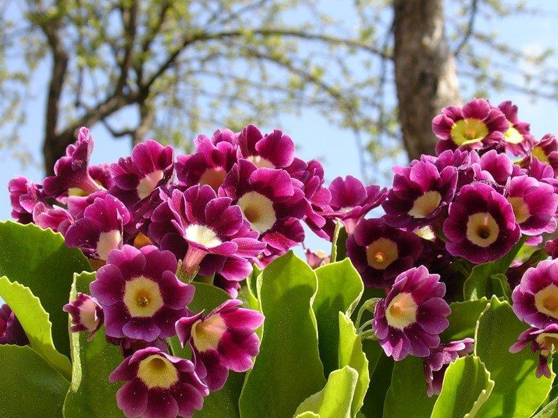 Примула в саду – рекомендации по выращиванию
