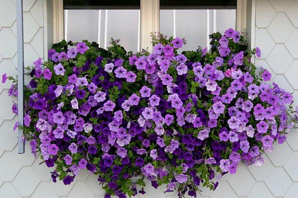 Прищипывание петунии ампельной - залог длительного и пышного цветения