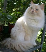 Породы кошек: рагамаффин