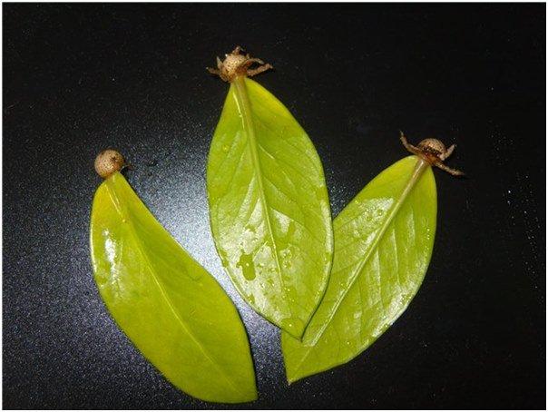 Рекомендации по размножению и пересадке замиокулькаса