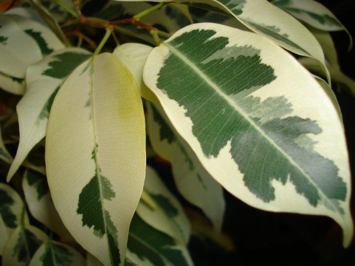 Фикус родина растения