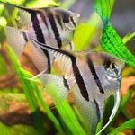 Как подобрать рацион для аквариумных рыбок?
