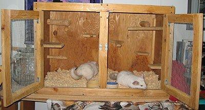 Шиншиллы в домашних условиях. Уход и содержание. Размножение шиншилл в домашних условиях. Породы шиншилл: серебристая и британская