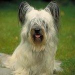 Породы собак: скай терьер