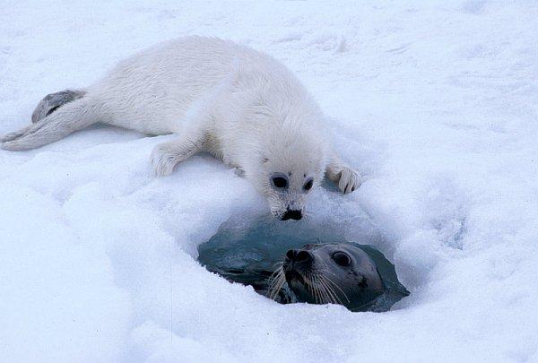 Самкам гренландского тюленя скоро будет негде рожать