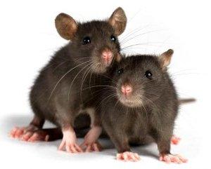 Сонник. К чему снились крысы?