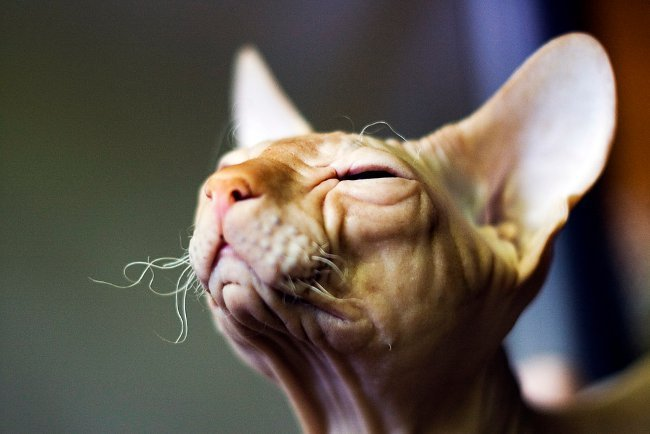 Коты сфинксы. Как ухаживать за сфинксом?
