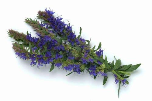 Трава иссоп: лечебные свойства, применение в медицине