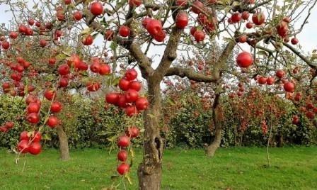 Уход за яблонями осенью: важные моменты