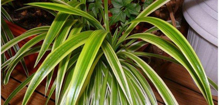 Выращивание и уход за хлорофитумом