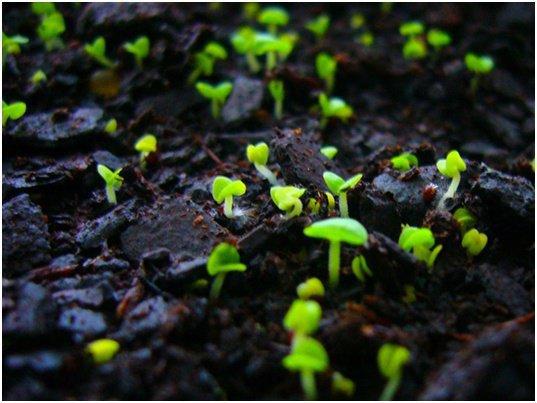Выращивание и уход за маргаритками