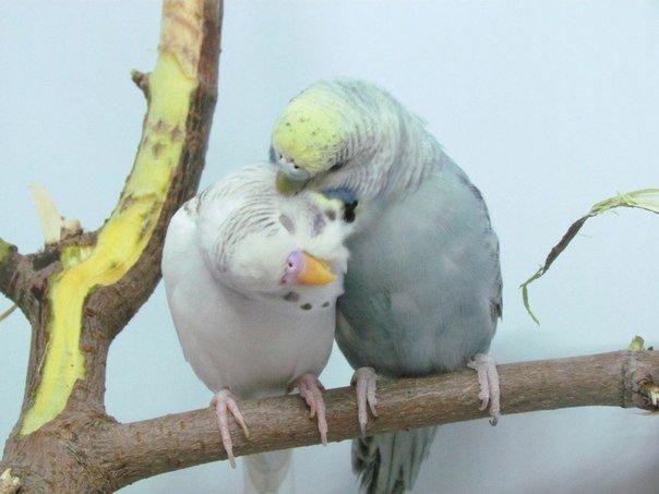 Все факты про волнистых попугайчиков