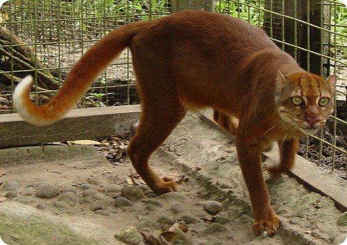 Калимантанская кошка (7 фото)
